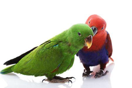 solomon: a pair of Solomon Island Eclectus Parrots ( Eclectus roratus solomonensis) on white background.