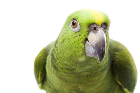 Yellow-naped Amazon Parrot (Amazona auropalliata) on white background.