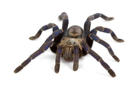 tarantula: Cobalt Blue Tarantula (Haplopelma lividum) on white background. Stock Photo