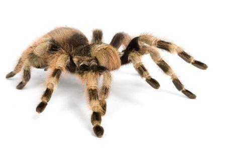 tarantula: Brazilian Black and White Tarantula (Acanthoscurria brocklehursti) on white background. Stock Photo