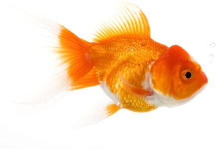 Goldfish (Carassius auratus) on white background. Banco de Imagens