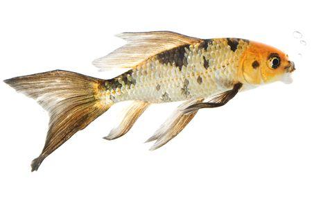Butterfly Koi Fish (Cyprinus carpio) on white background. 스톡 콘텐츠