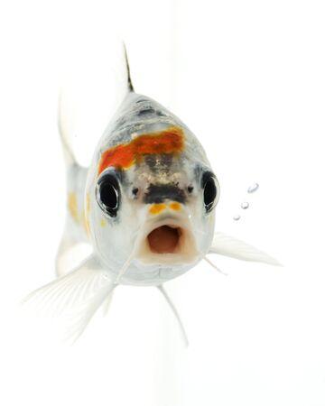 escamas de peces: Peces de plata Koi (Cyprinus carpio) sobre fondo blanco.