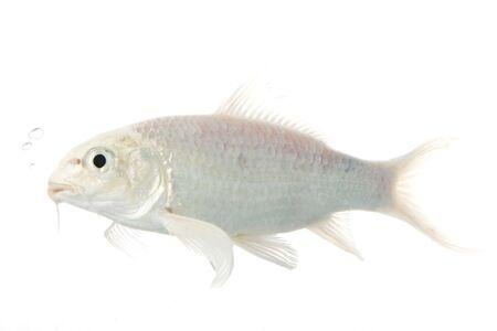 White Koi Fish (Cyprinus carpio) on white background. Stock Photo - 3918792