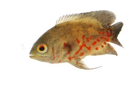 astronotus: Oscar Fish (Astronotus ocellatus) on white background.