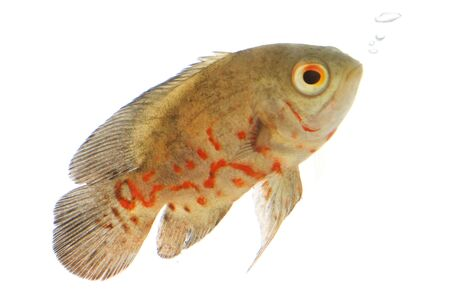 ocellatus: Oscar Fish (Astronotus ocellatus) on white background.