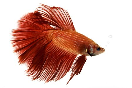 exotic pet: Red Siamese fighting fish (Betta splendens) on white background. Stock Photo