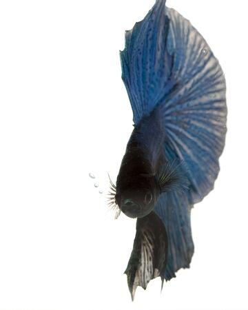 blue siamese: Blue Siamese fighting fish (Betta splendens) on white background.