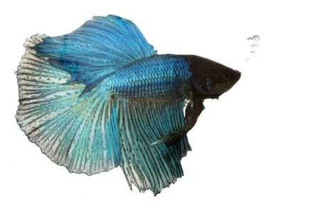 blue siamese: Blue Siamese fighting fish (Betta splendens) on white background.