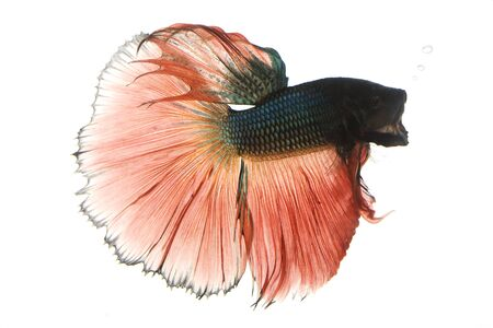 blue fish: Red and blue Siamese fighting fish (Betta splendens) on white background. Stock Photo
