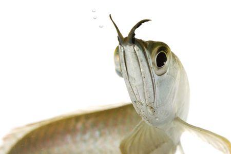 dragon swim: Silver Arowana (Osteoglossum bicirrhosum) on white background. Stock Photo