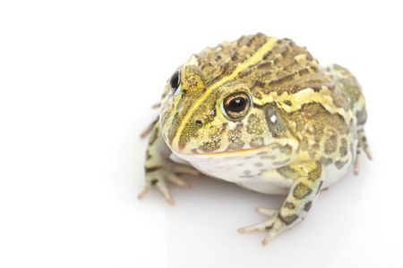 herpetology: African BullfrogPixie Frog (Pyxicephalus adspersus) on white background.