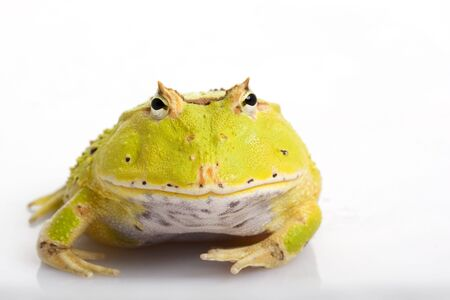 Green Fantasy Horned Frog (Ceratophrys) on white background. Stock Photo - 3918849