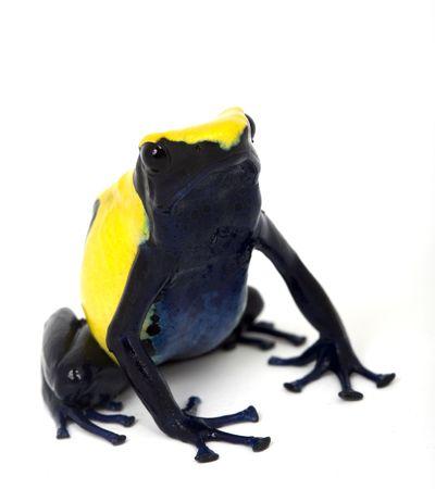 yellow and black poison dart frog: Citronella Dyeing Poison Dart Frog (Dendrobates tinctorius) white background.