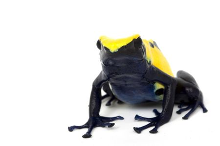 yellow and black poison dart frog: Citronella Dyeing Poison Dart Frog (Dendrobates tinctorius) white background.