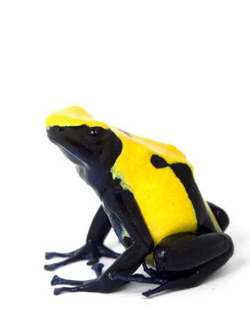 dart frog: Citronella Dyeing Poison Dart Frog (Dendrobates tinctorius) white background.