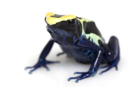 yellow and black poison dart frog: Cobalt Dyeing Poison Dart Frog (Dendrobates tinctorius) on white background.