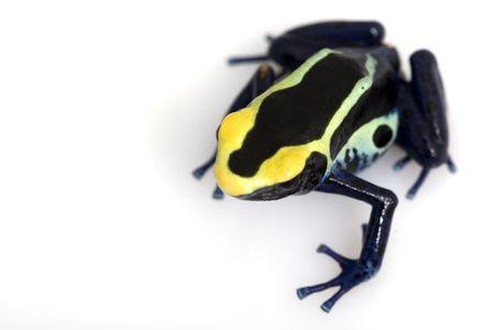 Cobalt Dyeing Poison Dart Frog (Dendrobates tinctorius) on white background.