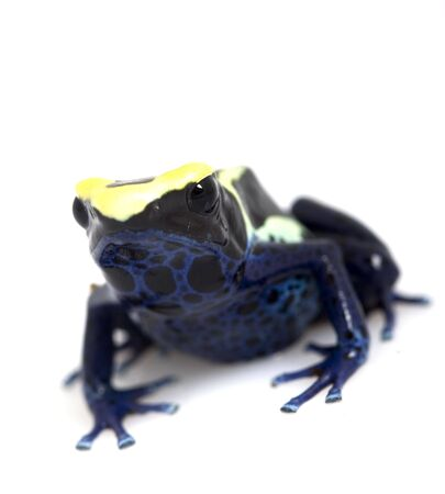 yellow and black poison dart frog: Cobalt Dyeing Poison Dart Frog (Dendrobates tinctorius) on white background.