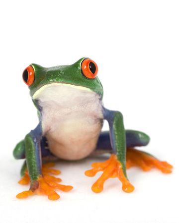 red frog: Red-eyed Tree Frog (Agalychnis callidryas) on white background.