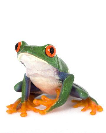 herpetology: Red-eyed Tree Frog (Agalychnis callidryas) on white background.