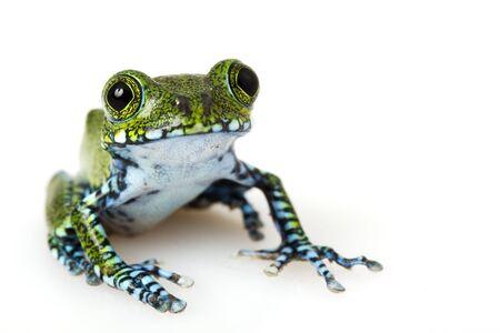 herpetology: Usumbara Peacock Tree Frog (Leptopelis vermiculatus) on white background.