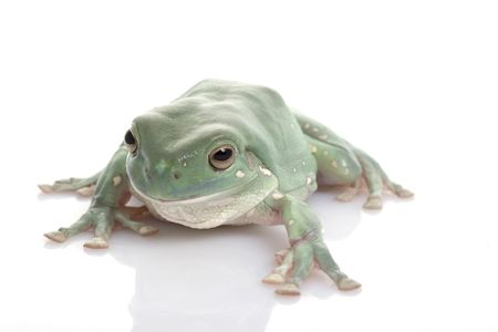 White�s Tree Frog (Litoria caerulea) on white background. Stock Photo - 3924013