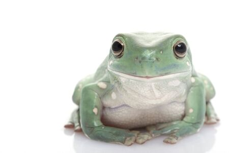 White�s Tree Frog (Litoria caerulea) on white background. photo