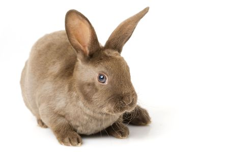 loveable: Brown baby Rabbit on white background.