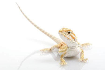 herpetology: young Bearded Dragon (Pogona vitticeps) on white background. Stock Photo