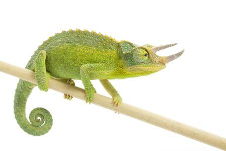 herpetology: male Jackson's Chameleon (Chamaeleo jacksonii) on white background.