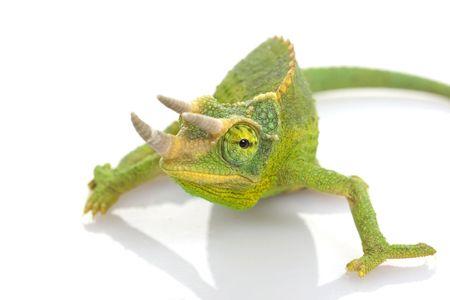 herpetology: male Jackson�s Chameleon (Chamaeleo jacksonii) on white background.
