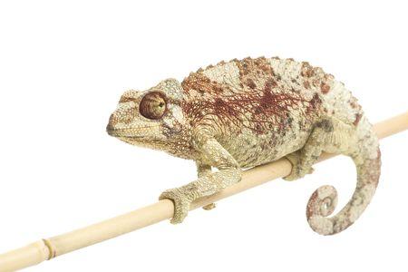 female Jackson's Chameleon (Chamaeleo jacksonii) on white background.