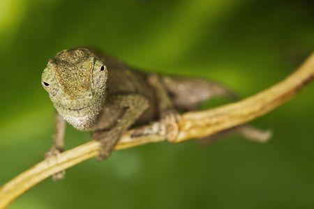 pigmy: Pigmy Chameleon on green background.