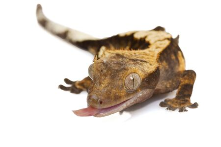 crested: Crested Gecko (Rhacodactylus ciliatus) on white background. Stock Photo