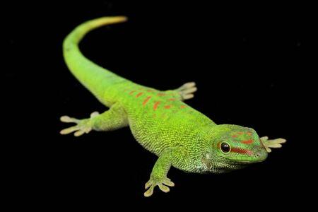 Giant Day Gecko (Phelsuma grandis) on black background.