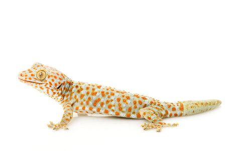 tokay gecko: Tokay Gecko (Gekko gecko) on white background.