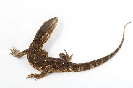 herpetology: White-throated Monitor Lizard (Varanus exanthematicus albigularis) on white background.