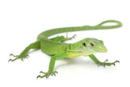 Green Tree Monitor Lizard (Varanus prasinus) op witte achtergrond. Stockfoto