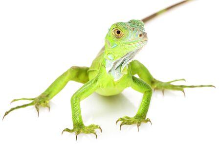 Green Iguana (iguana iguana) on white background.