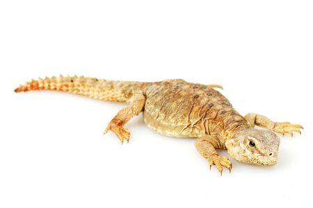 herpetology: Spiny-tailed lizard (Uromastyx) on white background. Stock Photo