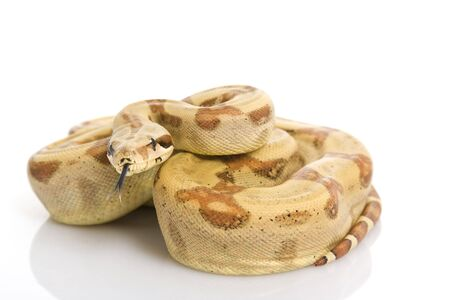 herpetology: Central American Boa (Boa constrictor imperator) on white background. Stock Photo