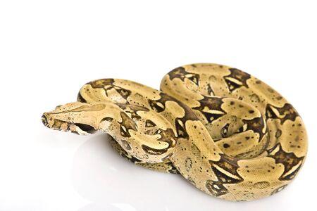 constrictor: North Brazilian Boa (B. c. constrictor) on white background.