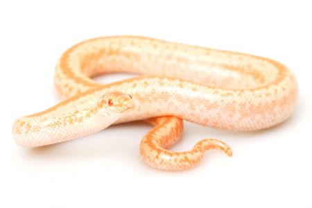 Albino Rosy Boa (Lichanura trivirgata) on white background. 版權商用圖片 - 3923997