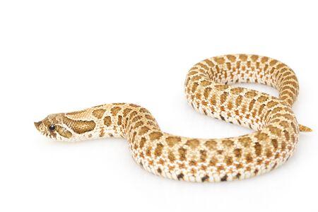 herpetology: Western Hognose Snake (Heterodon nasicus) on white background.