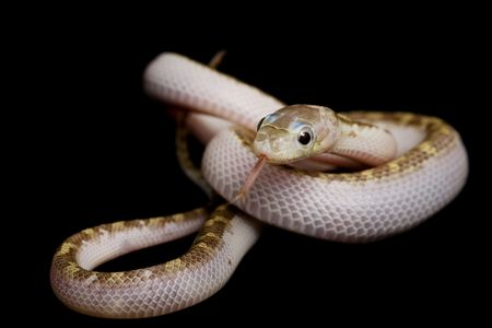 White-sided Texas Rat Snake (Elaphe obsoleta lindheimeri) on black background. Stock Photo - 3926947