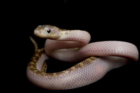 White-sided Texas Rat Snake (Elaphe obsoleta lindheimeri) sur fond noir.