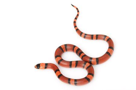 orange snake: Tangerine Honduran MilkSnake (Lampropeltis triangulum hondurensis) on white background.