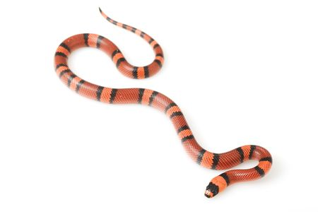 lampropeltis triangulum hondurensis: Tangerine Honduran MilkSnake (Lampropeltis triangulum hondurensis) on white background.
