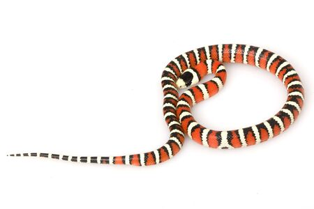 Arizona Mountain Kingsnake (Lampropeltis pyromelana pyromelana) on white background. photo